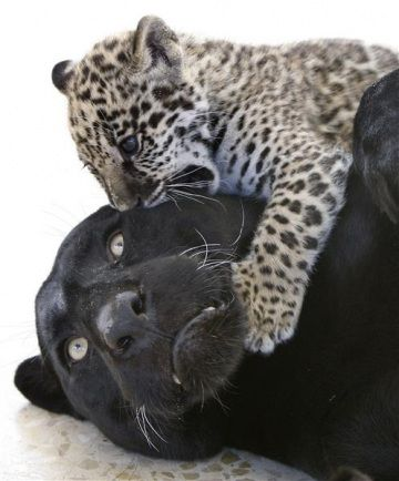 Una femmina di giaguaro (Panthera onca) gioca con il suo cucciolo in uno zoo di Yaduda in Giordania.