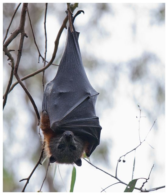 how to catch a flying fox