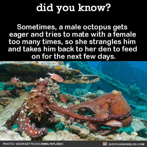 Sometimes, a male octopus gets eager and tries to mate with a female too many times, so she strangles him and takes him back to her den to feed on for the next few days. Source
