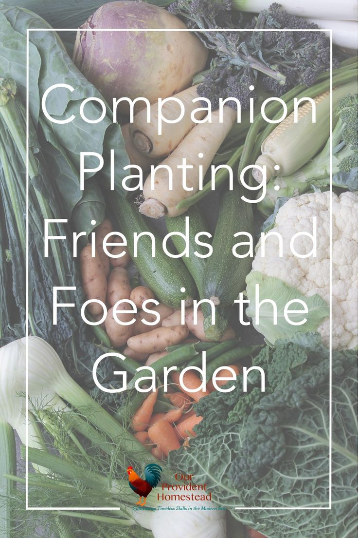 Kitchen Garden Companion 1000 Ideas About Companion Planting On Pinterest Companion