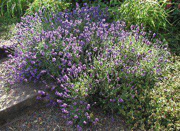 Lavender, Lavender Recipes, Culinary Lavender, How To Cook with Lavender, Cooking with Lavender, Recipes with Lavender