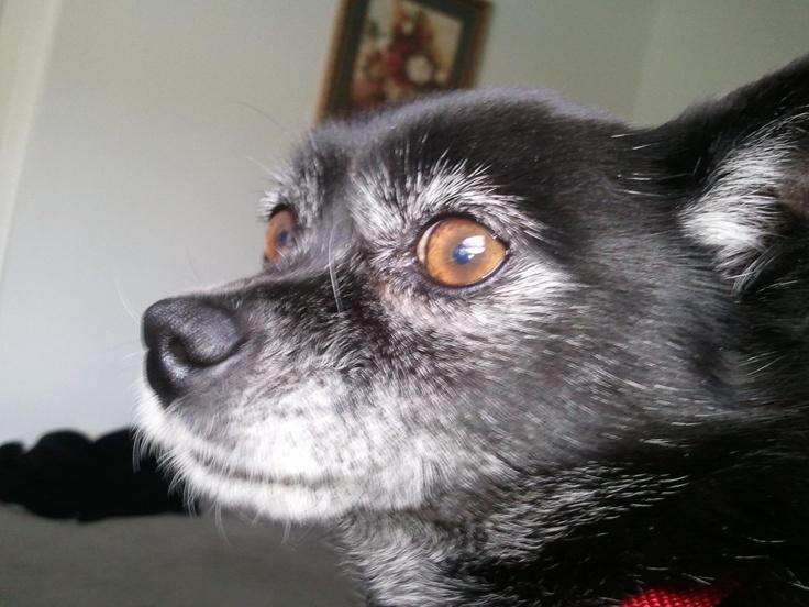 ... Foxyrescu Schipperkechihuahua, Schipperke Chihuahuas Mixed, Fur Baby