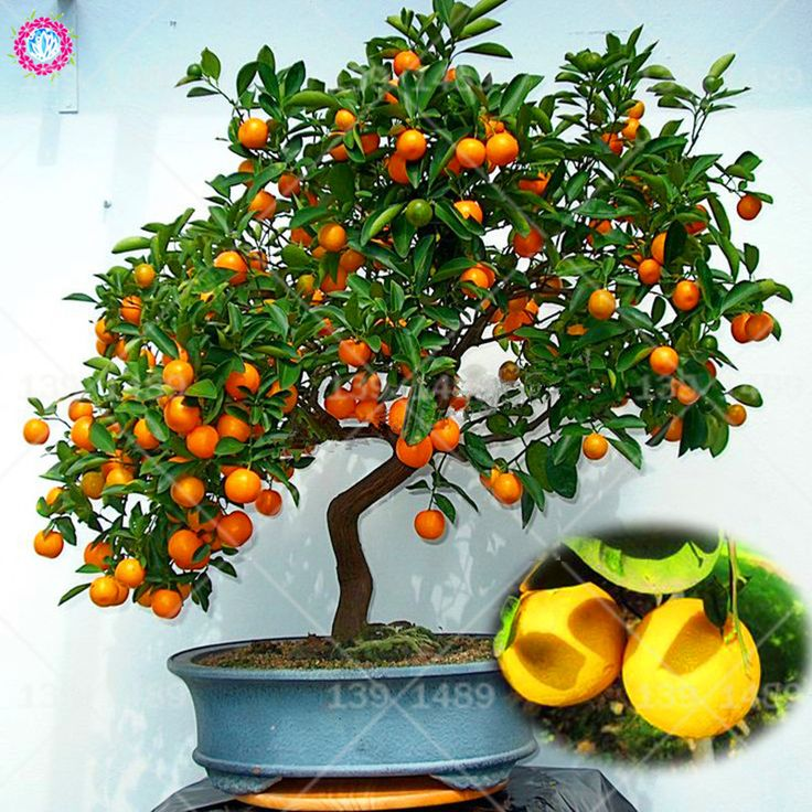 20pcs orange seeds Balcony bonsai fruit tree seeds Patio potted kumquat tangerine citrus for spring farm supplies Best packaging. Yesterday's price: US $0.38 (0.31 EUR). Today's price: US $0.38 (0.31 EUR). Discount: 57%.