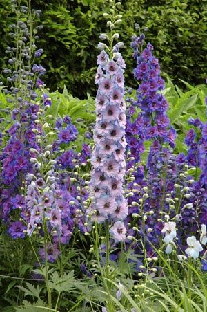 larkspur Flowers Garden Love