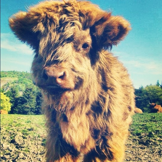 Baby highland cow - photo#5