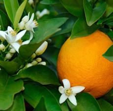 Botanical Name: Citrus Sinensis      Main Constituents:    d-Limonene: 95.20%    Aldehydes: 1.42%      Plant Part: Fruit Peel      Origin: Brazil      Processing Method: Cold Pressed      Description / Color / Consistency: A thin, yellowish orange to golden brown liquid.      Aromatic Summary / Note / Strength of Aroma: A middle note with a medium aroma, Orange Essential Oil has a sweet, citrus smell like the orange peels from which it is derived, but more intense and concentrated…