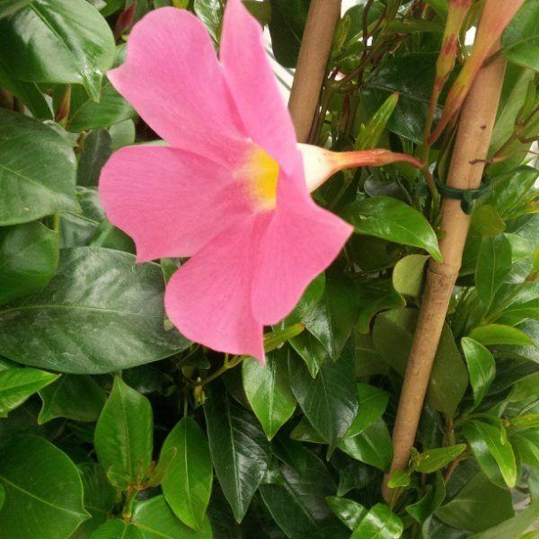 Oltre 25 fantastiche idee su fiori da balcone su pinterest for Dipladenia malattie