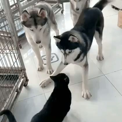 A cat trying to teach dogs how to play Simon Says.