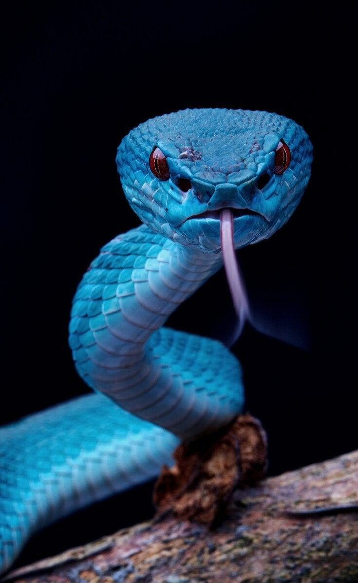 Animals | Phone Wallpapers | Pit viper, Colorful snakes