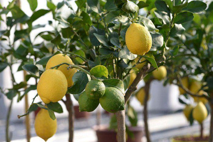 Cómo crecer un árbol de limón desde la semilla. Esta es una guía paso a paso para crecer tu propio árbol de limón a partir de semillas.