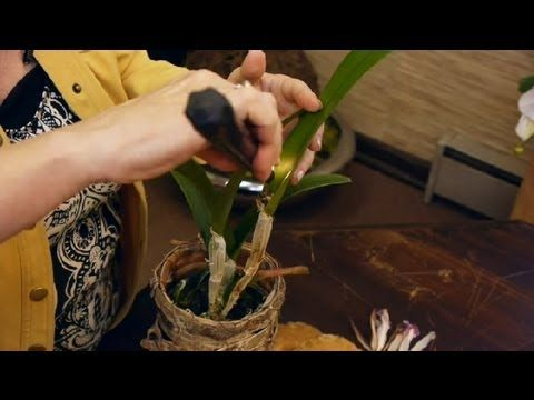 How to Cut Cattleya Orchids After They Bloom : Orchid Care