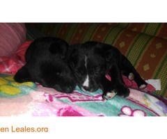 Cachorros en adopción!  #Adopción #adopta #adoptanocompres #adoptar #LealesOrg  Contacto y info: Pulsar la foto o: https://leales.org/animales-en-adopcion/perros-en-adopcion/cachorros-en-adopcion_i2803 ℹ  Estos bebesitos buscan acogida con derecho a adopción cuando cumplan los 2 mesitos de edad seran tamaño mediano y son mix de labrador preciosos y sanitos te apuntas a acoger a estos dos pequeñitos y darles la oportunidad de conocer el amor que transmiten. 1mes y medio de amor. Le ayudas?…