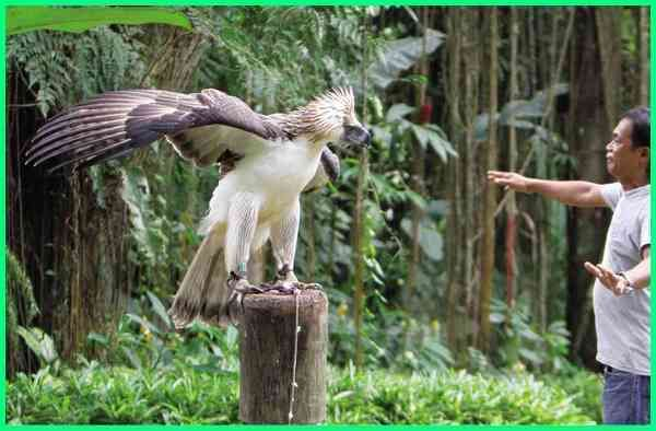 770 Koleksi Gambar Burung Elang Terbesar Di Dunia Gratis Terbaru