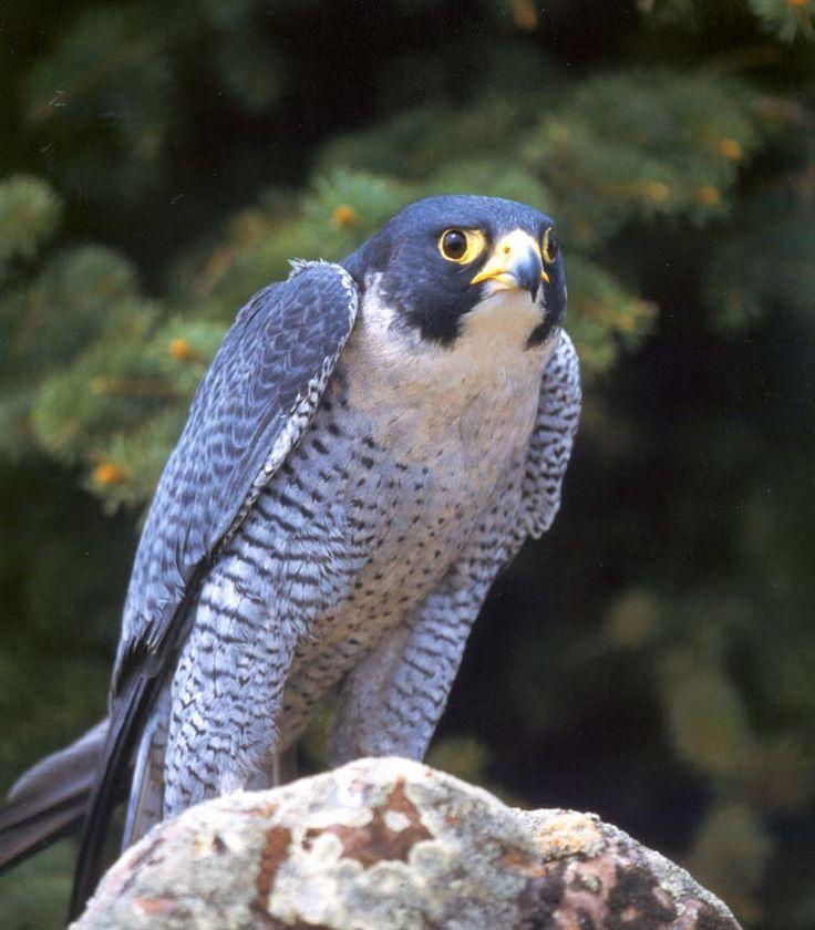 peregrine falcon - carr vale 2.1.13