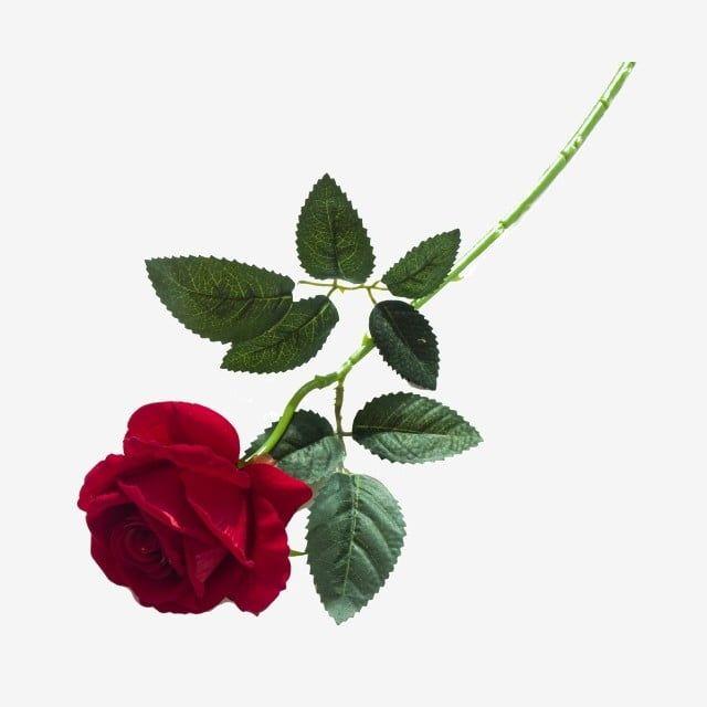 Tiro Real Parque Flor Rosa Imagenes Predisenadas De Rosa Roja Flores Rosas Png Y Psd Para Descargar Gratis Pngtree Flores Rosas Flores Bonitas