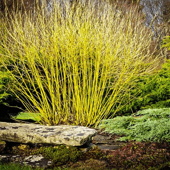 Yellow Twig Dogwood | The Tree Center™