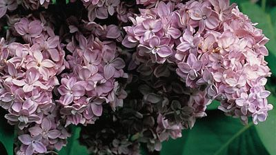 Syringa vulgaris 'Georges Bellair'