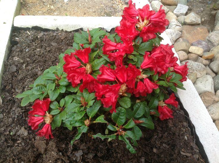 Rhododendron Den blommar fint i rabatten på framsidan av huset. Det är en bogrönt planta köpt i höstas.