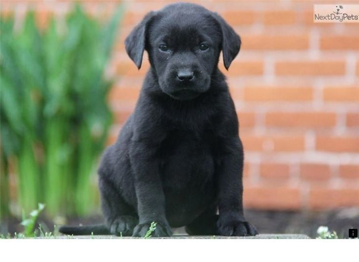 Discover More About Golden Labrador Click The Link For More Info Viewing The Website Is Worth Your Labrador Retriever Puppies Dog Spay Labrador Retriever