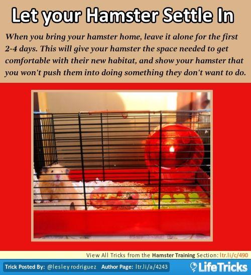 Hamster Training - Let your Hamster Settle In