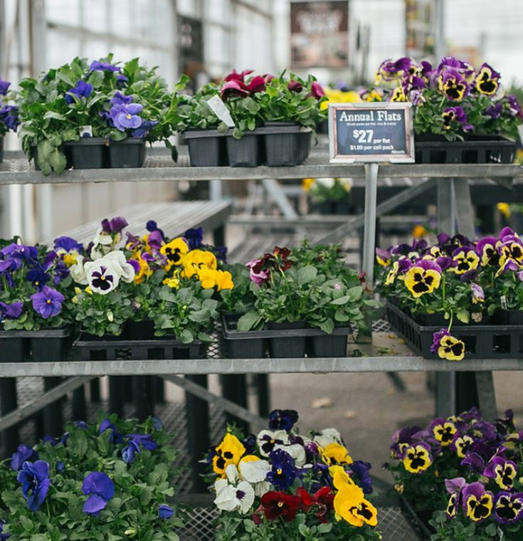 How To Grow And Care For Pansies Tips Varieties Pests And Diseases The Practical Planter In 2020 Pansies Flowers Pansies Daffodil Flower