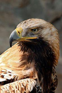Aigle impérial — Wikipédia