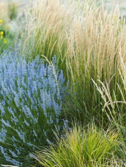 Feather reed grass mediterranean landscape by jeffrey for Tall grass with plumes