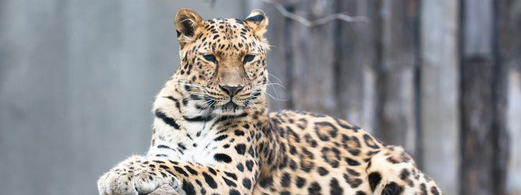 Of all the leopards, the Amur leopard is the most critically endangered. Hunted largely for its beautiful, spotted fur, the loss of each Amur leopard puts the species at greater risk of extinction. Support WWF in its efforts to protect the species and its habitat.