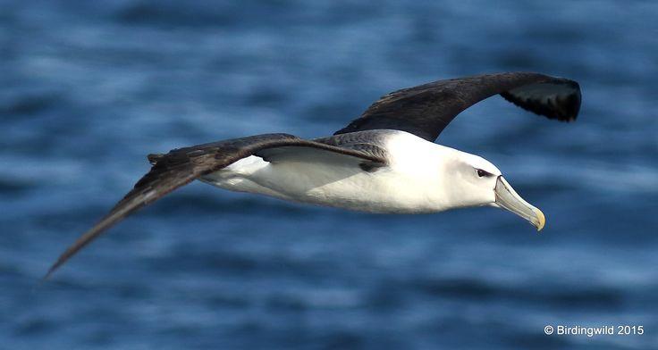White-capped Albatross - Port Stephens Pelagic