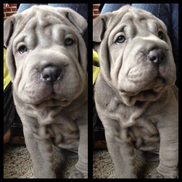 blue shar pei puppy. 7 weeks old.