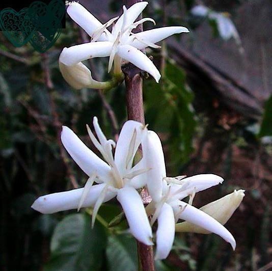 Coffea arabica - Coffee Plant