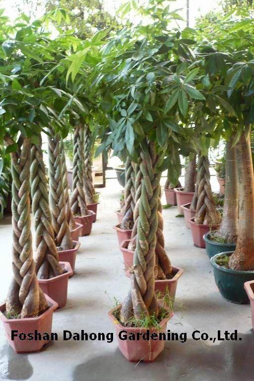 71 best INDOOR TREES images on Pinterest Indoor plants Indoor