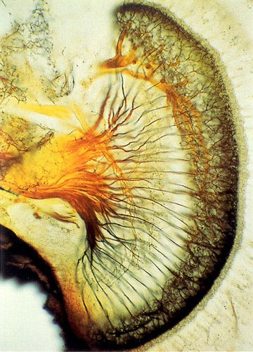 Nicholas J. Strausfeld, UofA. Optic neurons in blowfly (100x)