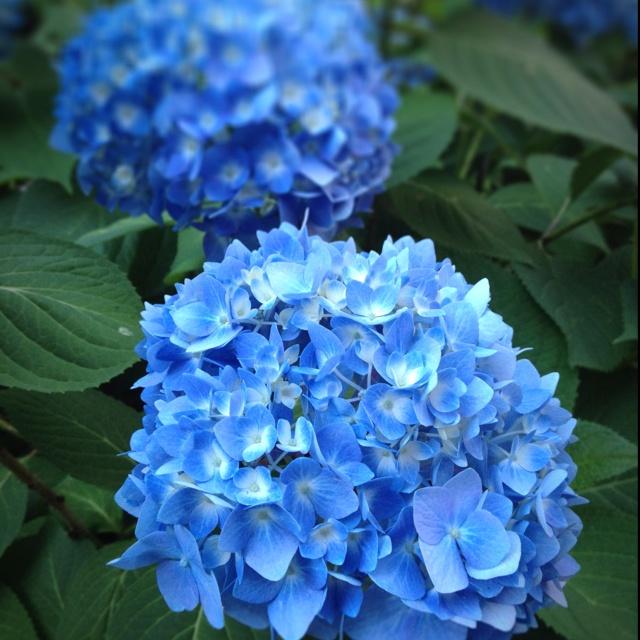 From the garden. Blue Hydrangea.
