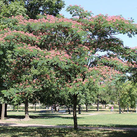 17 best images about plants for the two houses in kansas zone 6 7 on pinterest trees - Fastest growing ornamental trees ...