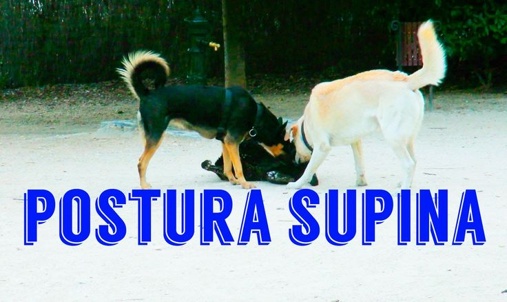 Postura supina en perros - Supine position in dogs