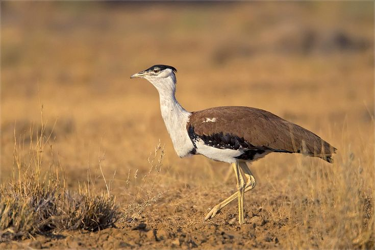 The Birth Of 11 Great Indian Bustards Was Witnessed In Desert National Park (DNP) Of Jaisalmer  >>  #Wildlife, #DesertNationalPark, #Jaisalmer