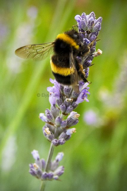 Bee on Lavender 3   © Elyse Childs Photography