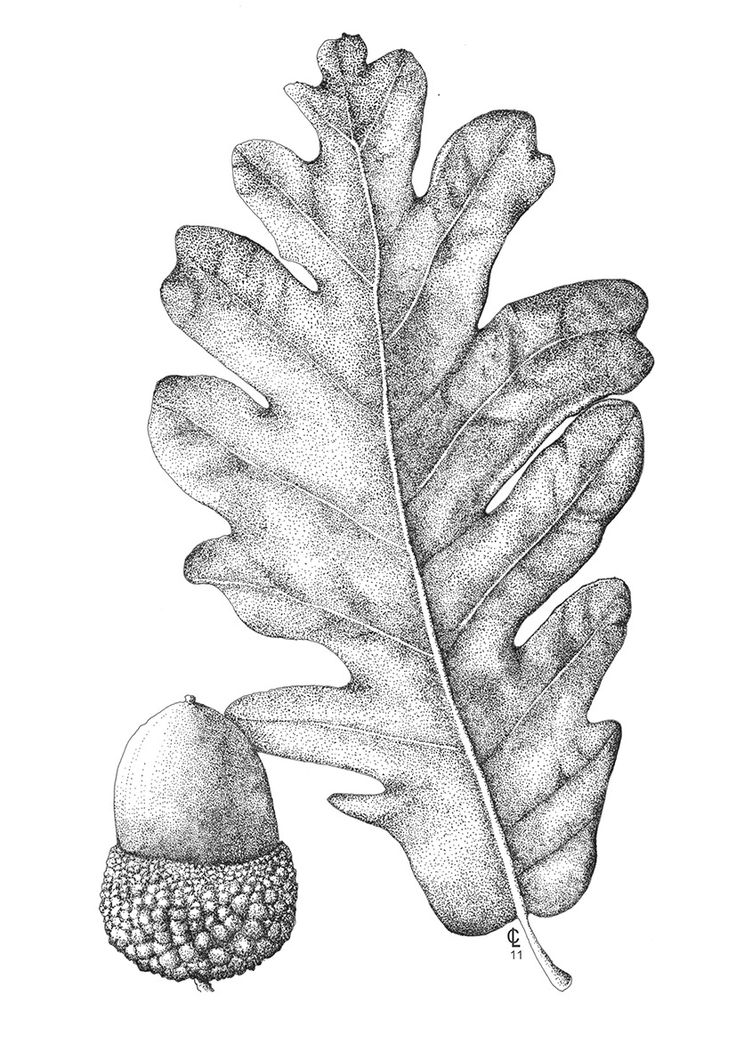 Quercus pyrenaica. Ilustradora: A. Cristina Losa http://herbanova.es/ilustraciones/
