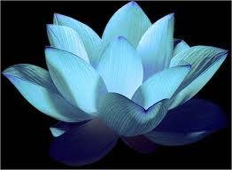 lotus flower - My fav