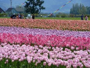 Information for visitors to Washington State's Skagit Valley Tulip Festival, including all the things they can see and do, when to go, and where to go.
