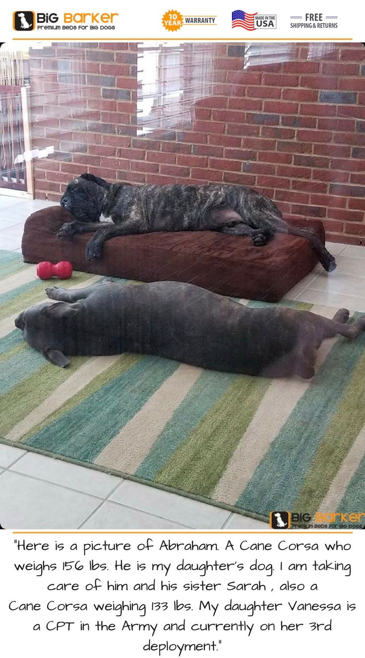 "Customer photo. To get this bed, https://bigbarker.com/?utm_content=buffer05a37&utm_medium=social&utm_source=pinterest.com&utm_campaign=buffer  ""Here is a picture of Abraham. A Cane Corsa who weighs 156 lbs. He is my daughter's dog. I am taking care of him and his sister Sarah , also a Cane Corsa weighing 133 lbs. My daughter Vanessa is a CPT in the Army and currently on her 3rd deployment.""  #canecorsa #americanmadedogbeds #dogbedlargebreed #dogbedlivingroom #dogbedluxury"