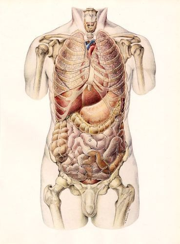vintage anatomy organs medical illustration plate  http://steampunkincornwall.blogspot.co.uk/