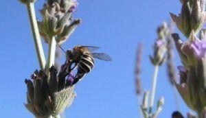 Una abeja excavadora que defiende sus colores