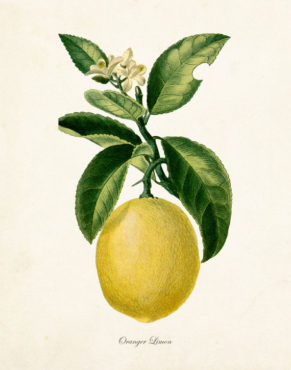 French Botanical Lemon Print No.12 - Giclee Canvas Prints - Kitchen Art - Antique Botanicals - Prints and Posters - Fruit Prints - Wall Art