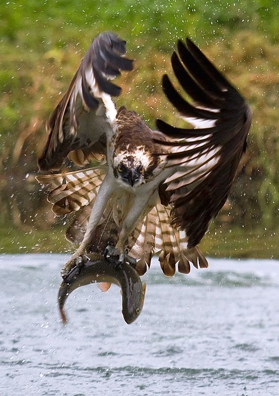 Osprey di Luigi Piccirillo.  # A common sight in the Columbia River Gorge, Oregon.