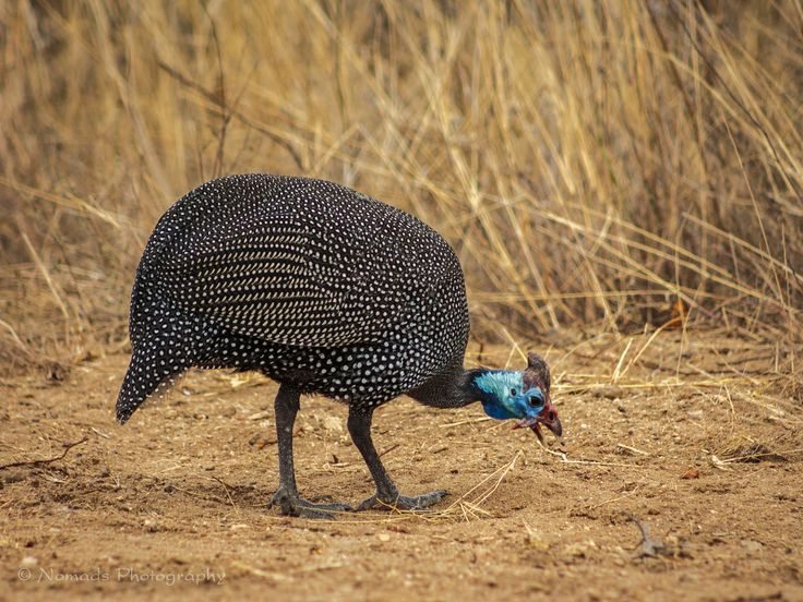 Pecked - The Helmeted Guineafowl is widely distributed throughout southern Africa and was traditionally hunted for sport. These large, chicken-liked birds can easily be recognised by their relatively large size (53–58 cm), dark grey bodies with white speckles and by their featherless, helmet-like head, which is blue and red in colour. Males have a bigger helmet than the females.