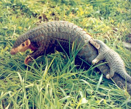 Chinese Pangolin, Manis pentadactyla by 中华人民共和国濒危物种进出口管理办公室 (Endangered Species Import and Export Management Office of the People's Republic of China) via EOL China Regional Center (cc-by-nc-sa)