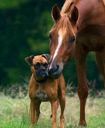 Horse and boxer