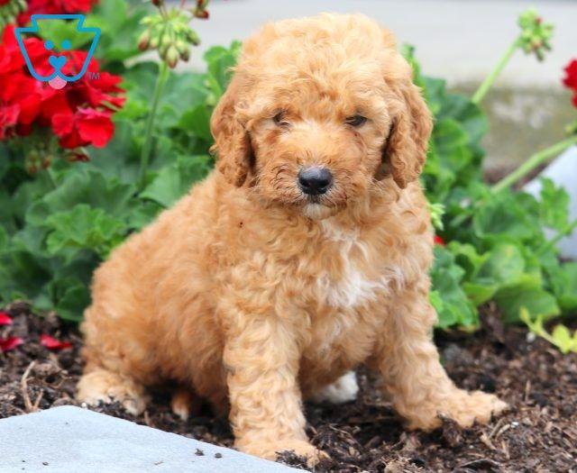 Lady Goldendoodle Miniature Puppy For Sale Keystone Puppies Goldendoodle Miniature Puppies For Sale Miniature Puppies